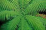 Tree fern crown