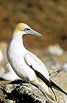 Gannet checking who's following
