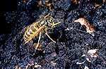 Common wasp on Honeydew