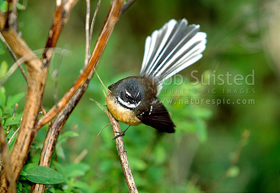 Native Fantails