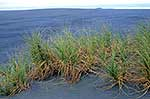 Native sand grass