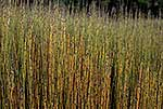 Native rushes