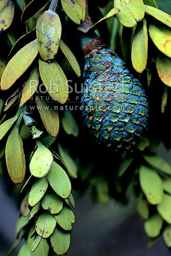 Kauri tree (Agathis australis) leaves and mature cone, Northland, Far North District, Northland Region, New Zealand (NZ) stock photo.
