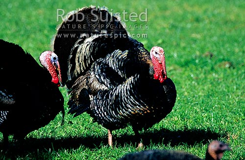 Turkey birds, East Coast, New Zealand (NZ) stock photo.