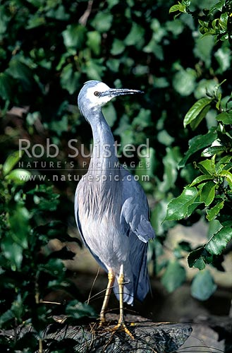 White faced heron (Ardea novaehollandiae), Farewell Spit, Golden Bay, New Zealand (NZ) stock photo.