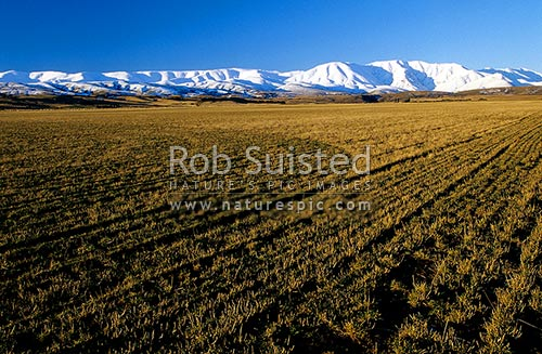 Looking across cut paddocks to the snowy Hawkdun Range; Central Otago. Clear blue sky, Otago - Central, Central Otago District, Otago Region, New Zealand (NZ) stock photo.