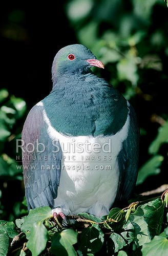 Wood Pigeon (Hemiphaga novaeseelandiae); Kereru, New Zealand (NZ) stock photo.