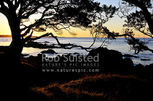 Sunset through Pohutukawa forest at Waihau Bay, East Cape, Opotiki District, Bay of Plenty Region, New Zealand (NZ) stock photo.