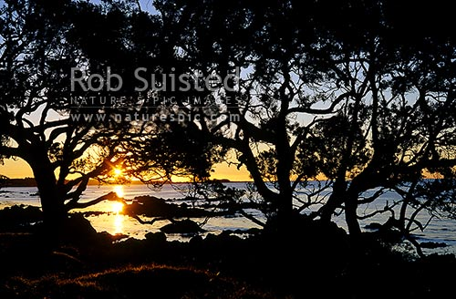 Sunset through Pohutukawa forest Metrosideros Excelsa at Waihau Bay. Trees silhoutted against sun, East Cape, Opotiki District, Bay of Plenty Region, New Zealand (NZ) stock photo.