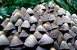 Group of inkcaps toadstools