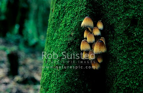 A group of Glistening Inkcap Toadstool (Coprinus micaceus) growing through the moss-covered trunk of a Tawa tree. NZ native fungus, Mangaweka, Rangitikei District, New Zealand (NZ) stock photo.