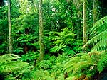 Tree ferns in forest