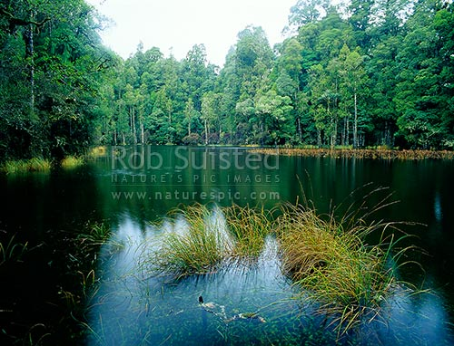 Waihora Lagoon amongst tall Podocarp forest, Pureora Forest Park, Waitomo District, Waikato Region, New Zealand (NZ) stock photo.