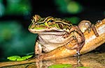 Green frog in pond