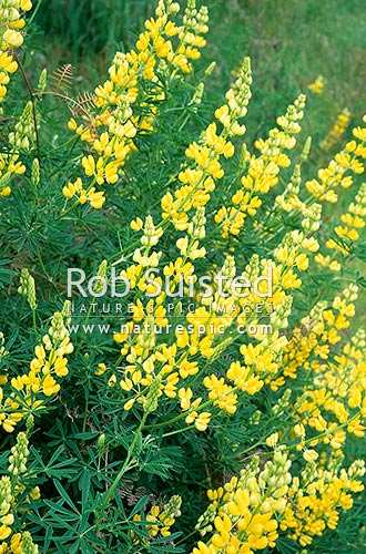 Tree lupin (Lupinus arboreus) - plant pest, Taupo, New Zealand (NZ) stock photo.