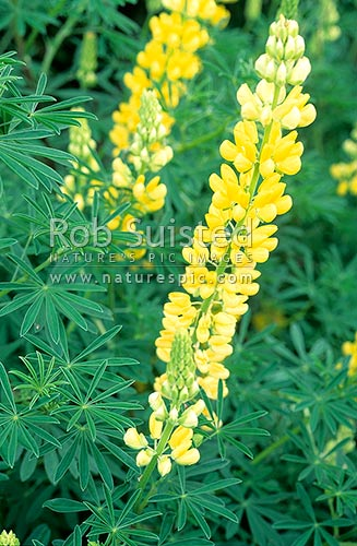 Tree lupin (Lupinus arboreus) leaves and yellow flowers. Introduced weed, Taupo, Taupo District, Waikato Region, New Zealand (NZ).