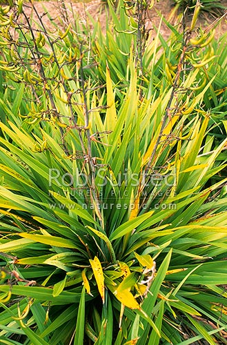 Young Flax plants (Phormium tenax) with seed pods, Rotorua ...