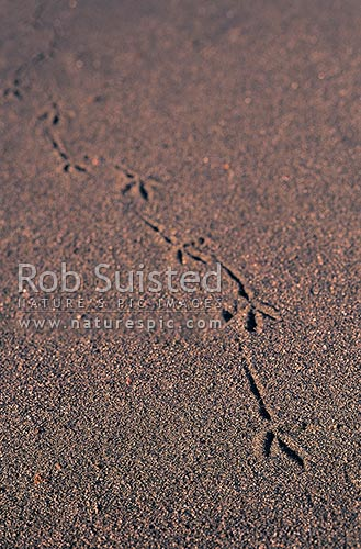 Bird footprints on black sand, Taranaki, New Zealand (NZ) stock photo.