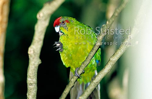 Red crowned parakeet (Cyanoramphus novaezelandiae) feeding on fruit seeds, Waikanae, New Zealand (NZ) stock photo.