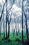 Manuka forest stand