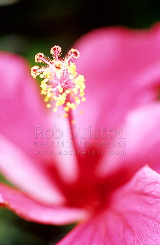 Hibiscus flower, Coromandel Peninsula, New Zealand (NZ) stock photo.