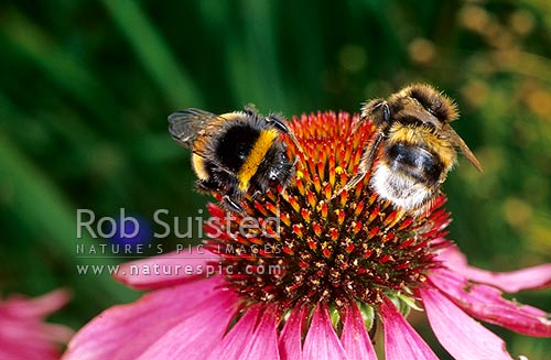Bumble bees (Bombus sp ) on the medicinal herb Echinacea purpurea
