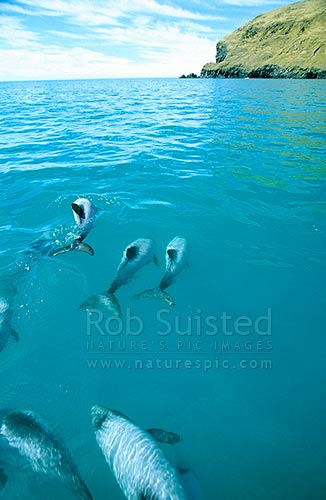 Pod of native endangered Hector's Dolphins (Cephalorhychus hectori) in Flea Bay (Pohatu Marine Reserve), Banks Peninsula, Akaroa, Banks Peninsula District, Canterbury Region, New Zealand (NZ) stock photo.
