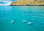 Hector's dolphins, Pohatu MR