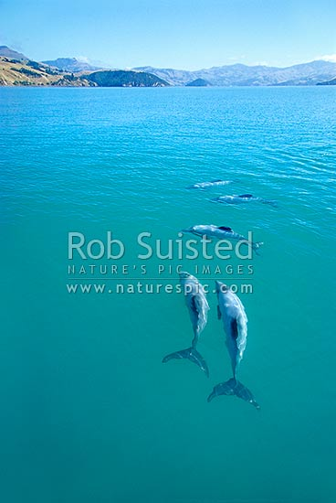Hector's Dolphins (Cephalorhychus hectori) in Akaroa Harbour, Banks Peninsula, Akaroa, Banks Peninsula District, Canterbury Region, New Zealand (NZ) stock photo.