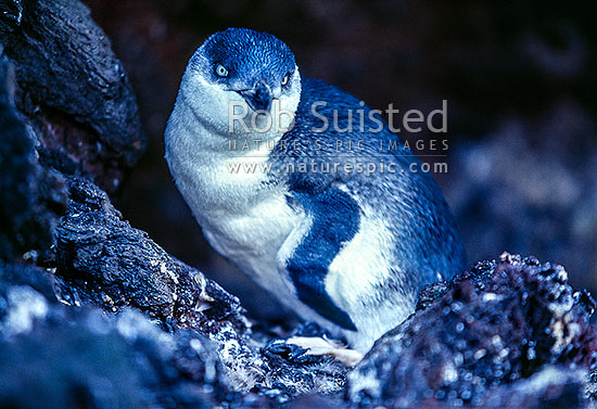 NZ Native Little blue penguin (Eudyptula minor) - White-flippered population, Banks Peninsula, Christchurch City District, Canterbury Region, New Zealand (NZ) stock photo.