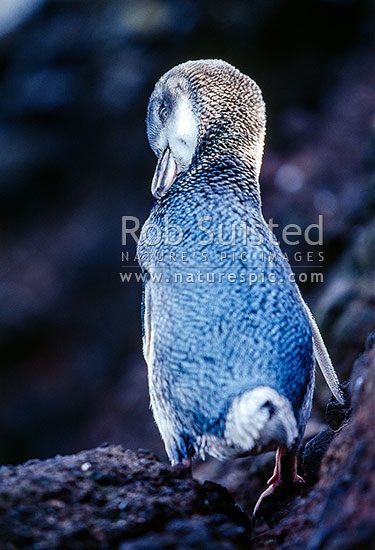 NZ native Little blue penguin (Eudyptula minor) preening itself- White-flippered population, Banks Peninsula, Christchurch City District, Canterbury Region, New Zealand (NZ) stock photo.