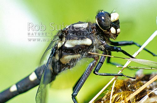 Giant Mountain dragon fly (Uropetala chiltoni), Arthur's Pass National Park, Southern Alps, New Zealand (NZ) stock photo.