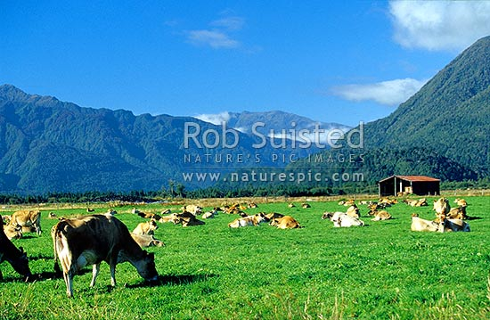 Dairy cows on a fine Westland day, Greymouth, Grey District, West Coast Region, New Zealand (NZ) stock photo.