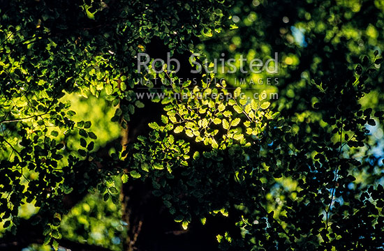 Red Beech leaves backlit by sun (Fuscospora fusca, Syn Nothofagus fusca), New Zealand (NZ) stock photo.