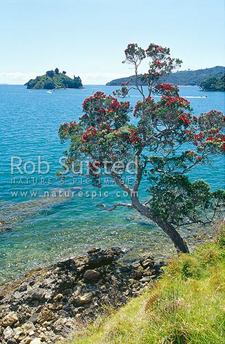 Pohutukawa (Metrosideros excelsa) flowering on coast, Thames-Coromandel District, Waikato Region, New Zealand (NZ) stock photo.