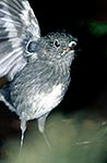 North Island Robin  closeup