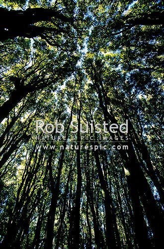 Looking up through the canopy of Tawa tree forest (Beilschmiedia tawa), Kapiti Island, New Zealand (NZ) stock photo.