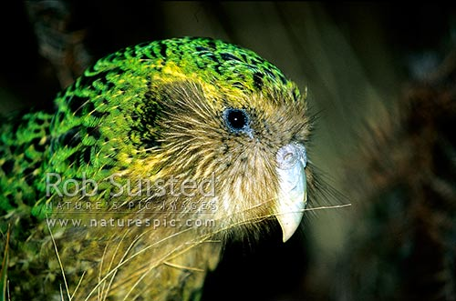 Critically endangered Kakapo (Strigops habroptilus) - nocturnal parrot - 'Trevor', Maud Island, Marlborough Sounds, New Zealand (NZ) stock photo.