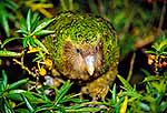Kakapo eating Poroporo berries