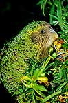 Kakapo 'Trevor' eating fruit