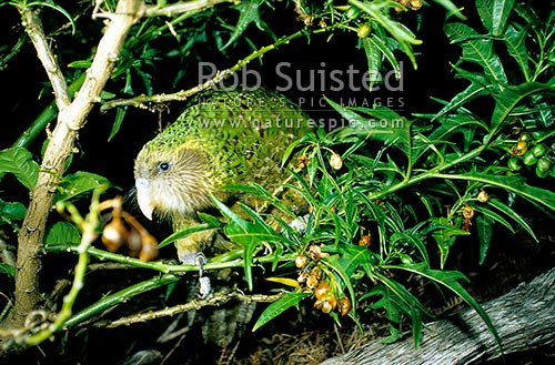 Critically endangered Kakapo (Strigops habroptilus) feeding on Poroporo fruit. Night parrot, Maud Island, Marlborough Sounds, New Zealand (NZ) stock photo.