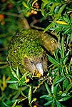 Kakapo bird, foraging on Poroporo