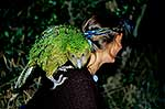 Kakapo on woman's shoulder