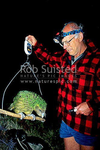 Don Merton weighing critically endangered Kakapo (Strigops habroptilus) - 'Trevor', Maud Island, Marlborough Sounds, New Zealand (NZ) stock photo.