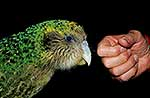 Native Kakapo