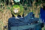 Kakapo on camera bag