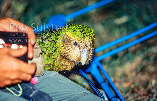 Critically endangered Kakapo (Strigops habroptilus), 'Boomer' and Radio telemetry equipment. Conservation worker attaches device to bird, Maud Island, Marlborough Sounds, Marlborough District, Marlborough Region, New Zealand (NZ) stock photo.