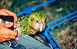 Attaching tracking device to Kakapo
