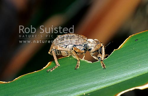 Rare Giant Flax Weevil (Anagotus fairburni), Maud Island, Marlborough Sounds, New Zealand (NZ) stock photo.