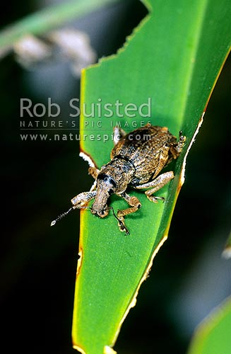 Giant Flax Weevil (Anagotus fairburni), Maud Island, Marlborough Sounds, New Zealand (NZ) stock photo.